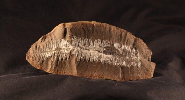植物化石的研究對進化論提出了質疑(圖)