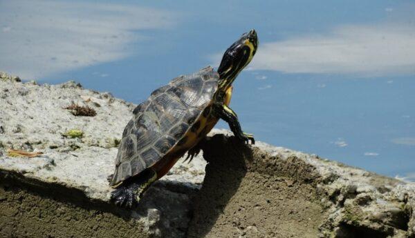 被死神遺忘的烏龜 從清朝活到現代讓人羨慕(圖)