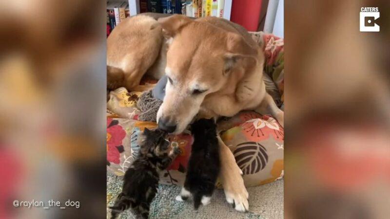 加拿大牧羊犬當超級奶爸 照顧過60隻幼貓