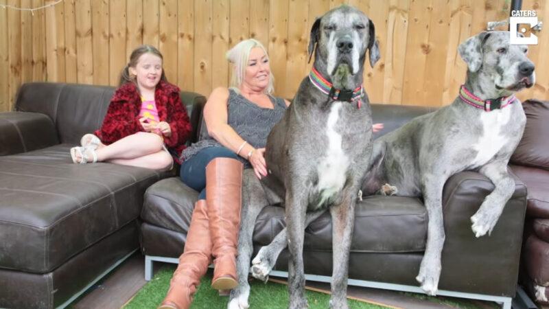 """以为在""""溜马"""" 世界最高大丹犬再创最长寿世纪"""
