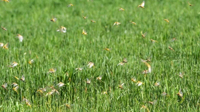 【睿眼看世界】哈工大不能使用Matlab 東北糧倉出現蝗蟲 吃飯問題再聚焦
