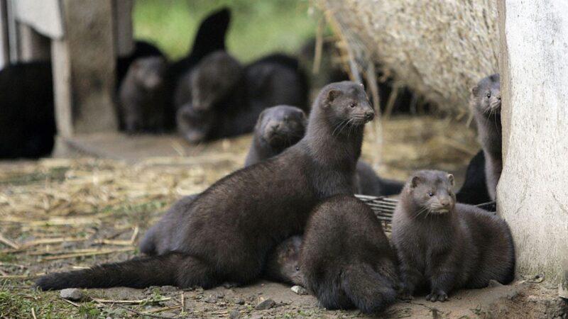 荷蘭水貂感染中共病毒又傳人 上萬水貂被撲殺