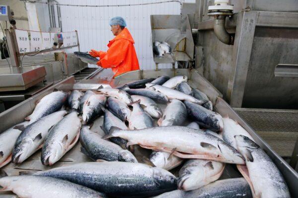 北京爆疫情甩鍋三文魚 歐洲供應商股價重挫