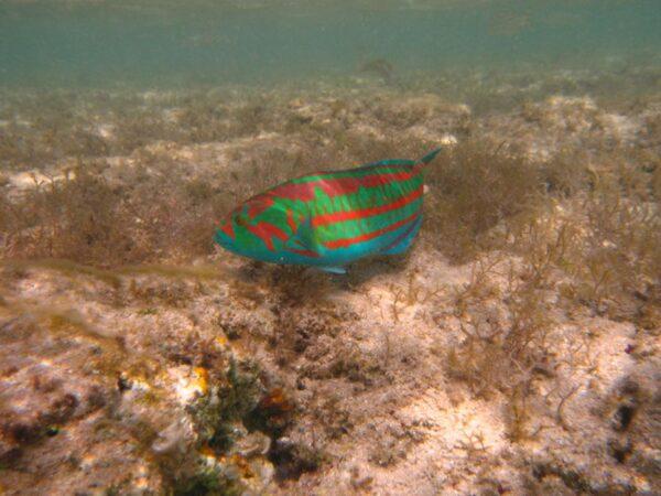 「顏色很誇張」 日本男子釣到繽紛怪魚
