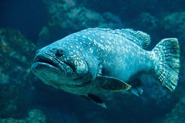 釣到264公斤巨型石斑魚 16歲少女破世界紀錄