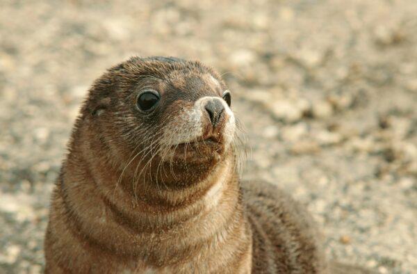 擁有「中年大叔」臉 日本海豹寶寶「微笑君」爆紅
