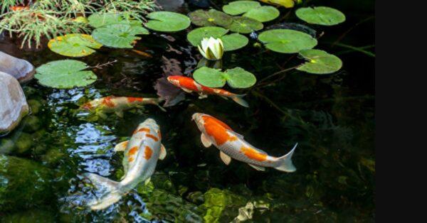 日本一条锦鲤活了226岁 完胜全球人瑞