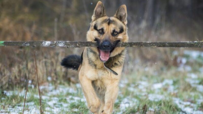 小狗幫盲人移除路障 網民:比人還有同情心(視頻)