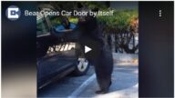 野生熊打开汽车门 车主高处急吼把它吓跑(视频)