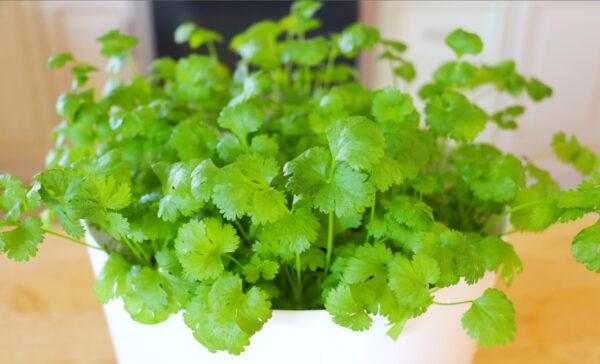 【美食天堂】室内快速种植香菜的方法~什么季节都可以种!家常料理食谱 一学就会