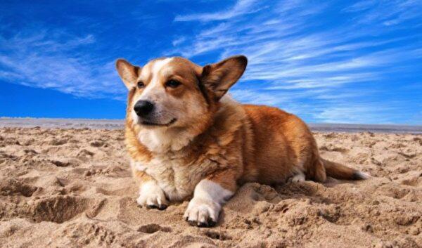 俄罗斯短腿狗罕见当警犬 证明身高不是问题(组图)