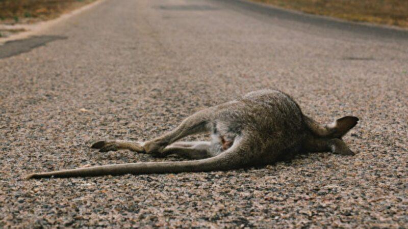眼见妻儿被车撞死 澳洲袋鼠路边抚尸哀悼
