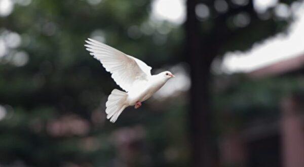"""飞到一半不动 哥伦比亚白鸽空中被""""定格""""(视频)"""