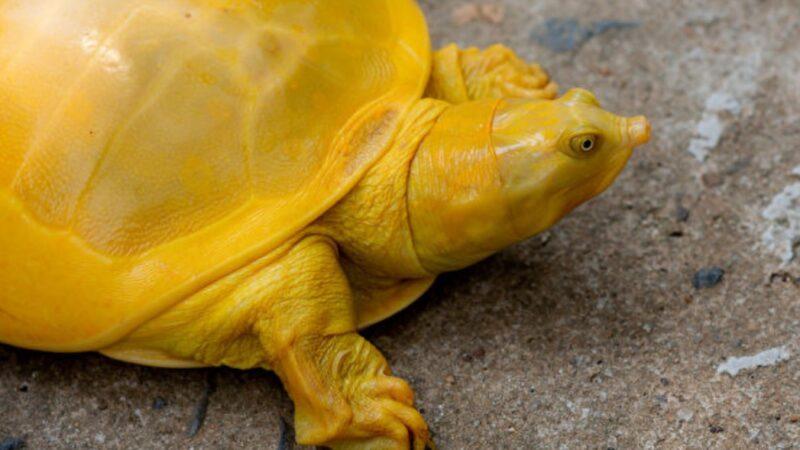 全身都是亮黄色 罕见鳖在印度现身