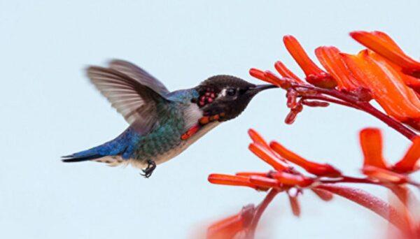 世界上最小的鳥 如寶石般的吸蜜蜂鳥(組圖)