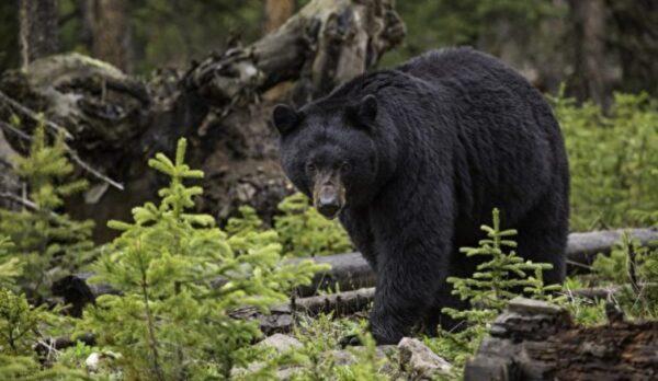 黑熊嗅嗅還摸大腿 墨西哥女子淡定自拍(視頻)
