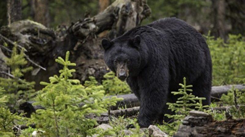 黑熊嗅嗅还摸大腿 墨西哥女子淡定自拍(视频)
