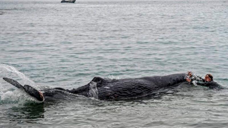 抹香鲸遭渔网缠住 潜水员花几天还割不完(视频)