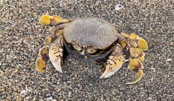 道學淵博 螃蟹遇他也正行