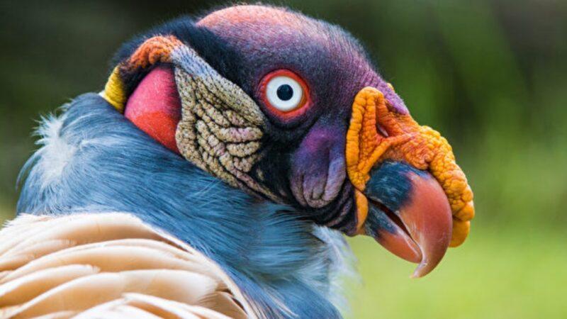这种漂亮的鸟被视为人神之间的信使