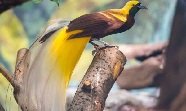 组图:五种拥有惊艳长尾的最美丽鸟