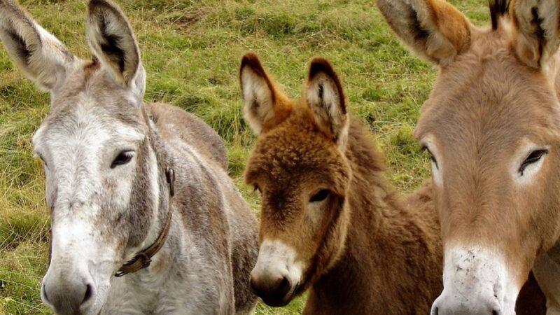 印度記者問驢子為何不戴口罩? 路人被打臉
