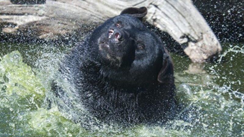 好惬意!一头大黑熊闯美居民后院泡澡(视频)