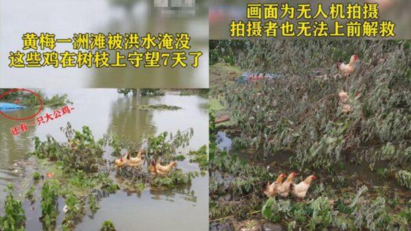 """""""洪水逼的鸡上树""""窜热搜 网友笑了又哭了"""
