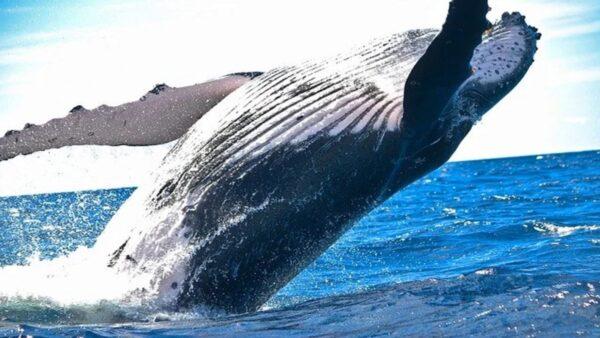 世界上最巨大的生化武器:鲸爆