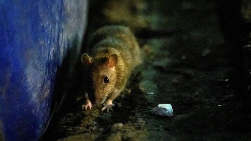 鼠疫捲土重來 專家:和武漢肺炎一樣恐怖