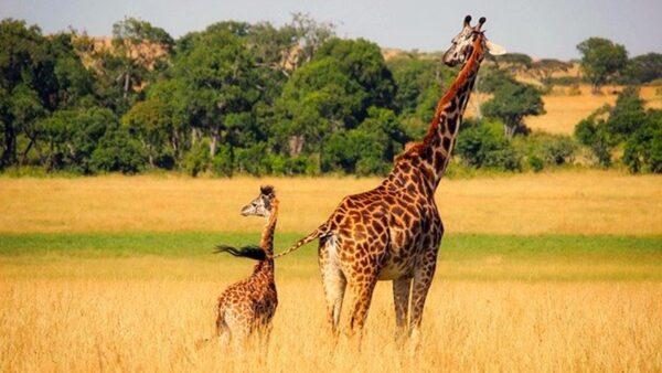 世界最古老动物园每年都要为动物做的一件事(视频)