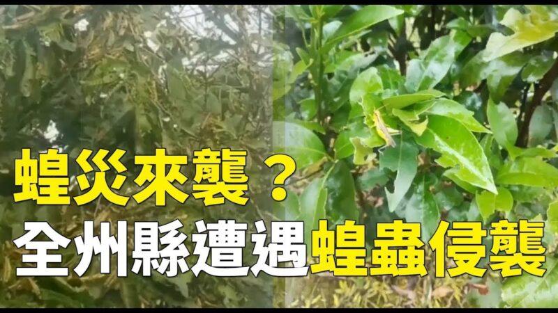 《石濤聚焦》國安法實施當晚 沙漠蝗蟲突然降臨桂林全州縣