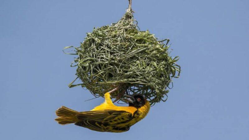 全球最大的鳥巢 1噸重能住500隻鳥