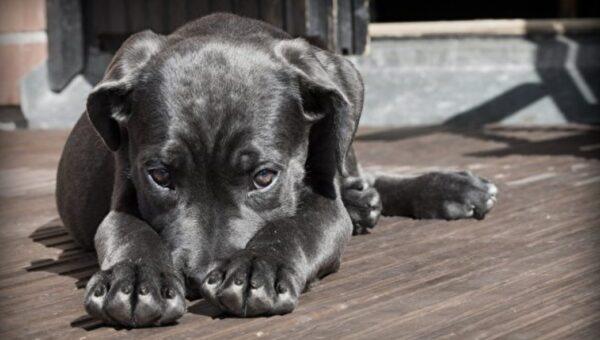與主人走失無法回家 泰國小狗向獸醫求助