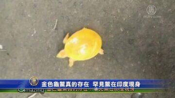 金色龜鱉真的存在!罕見鱉在印度現身