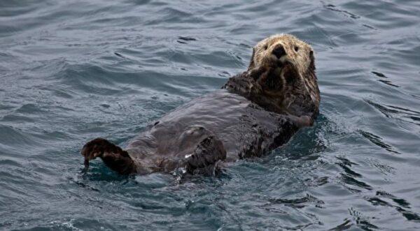 遭虎鯨追殺 聰明海獺竟跳上船求救