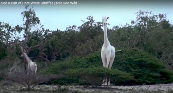 肯亞罕見白色長頸鹿母子遭獵殺 僅剩一隻(視頻)