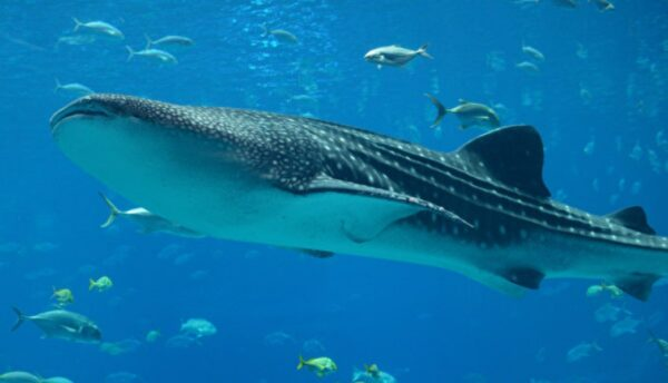 中东男子骑在几米长鲸鲨背上 招致非议