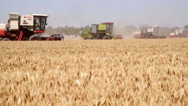 習近平剛說糧食豐收 官方公布小麥減收千萬噸