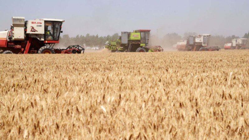 习近平刚说粮食丰收 官方公布小麦减收千万吨