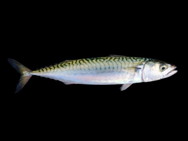 18公斤大鱼飞出水面 澳男胸口被撞击身亡