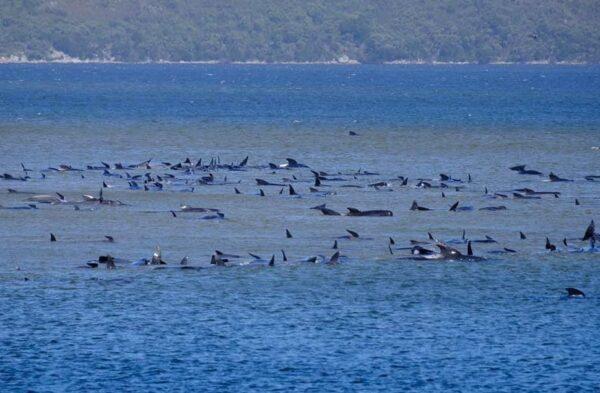 470頭領航鯨擱淺澳洲 大部份已經死亡