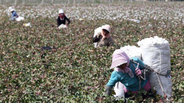 禁止進口新疆棉花番茄 華府推遲宣布禁令