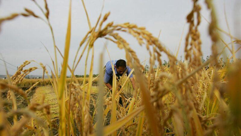 中國糧荒迫在眉睫 當局強砍果樹逼農民種糧