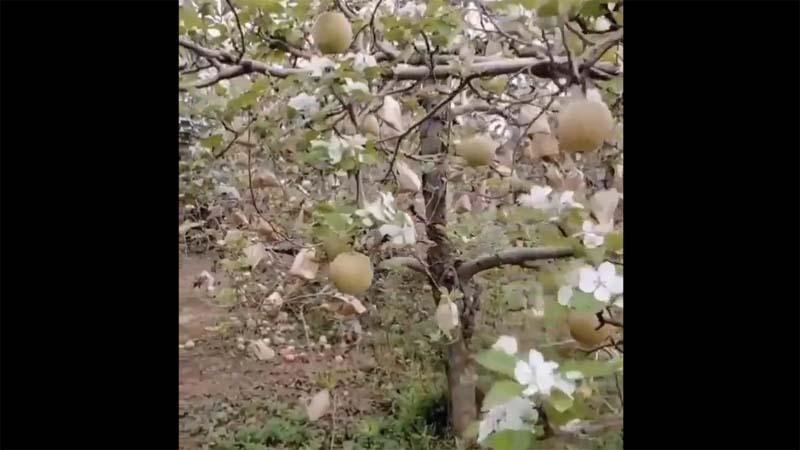 紅朝異象:蘋果將熟掛滿枝 又開一樹新花(視頻)
