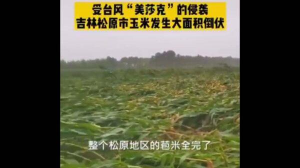 台风再袭东北 产粮区玉米大面积倒伏(视频)