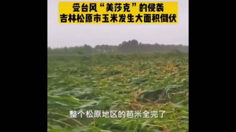 颱風再襲東北 產糧區玉米大面積倒伏(視頻)