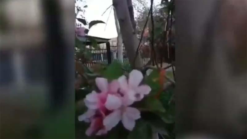 庚子年怪事多 傳新疆果樹秋季開花(視頻)