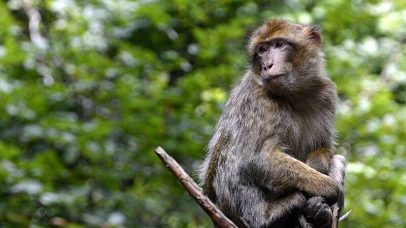 中国猴子抢食遭喝斥 叫来猴群围殴男子致重伤
