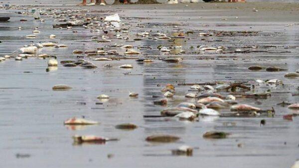 異象!廣西海灘死魚綿延8里 數量還在增加(視頻)